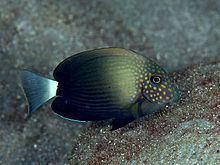 Acanthurus maculiceps httpsuploadwikimediaorgwikipediacommonsthu
