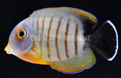Acanthurus tristis Mimic Eibli Acanthurus tristis Wild Tangs Quality Marine