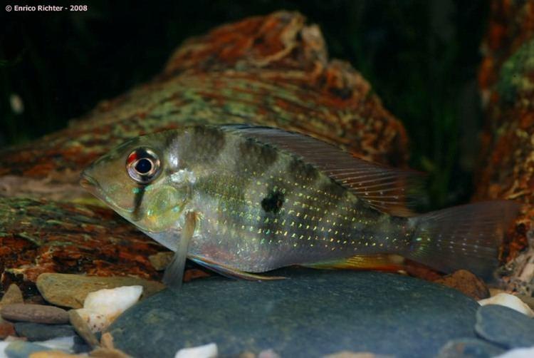 Acarichthys heckelii Acarichthys heckelii Threadfin Acara Seriously Fish