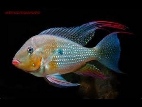 Acarichthys heckelii httpsiytimgcomviTxe6Id8VcF8hqdefaultjpg