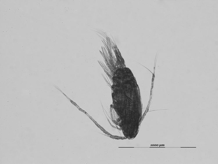 Acartia clausi Acartia clausi metacopepod