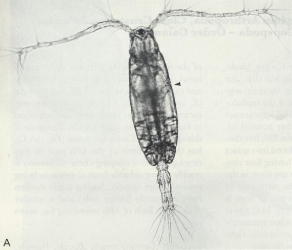 Acartia clausi Coastal Oceanography OC332