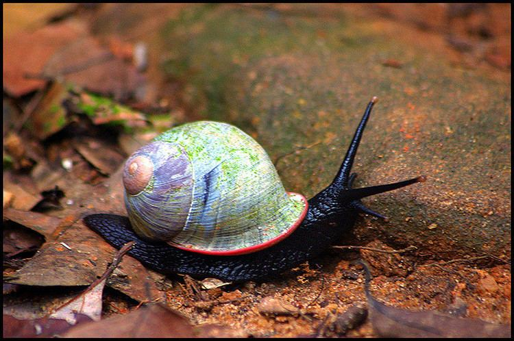Acavus Giant Land Snail Acavus phoenix endemic to the wet zone Flickr