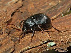 Accanthopus httpsuploadwikimediaorgwikipediacommonsthu