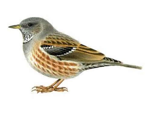 Accentor Alpine Accentor Prunella collaris European birds online guide