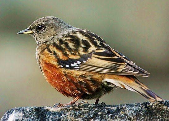 Accentor Alpine Accentor The accentors are in the only bird family
