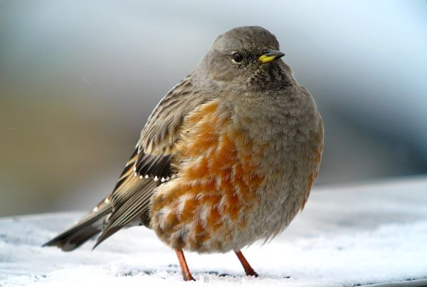 Accentor 1000 images about BirdsPrunellidaeAccentors on Pinterest Tibet
