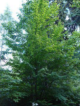 Acer barbinerve httpsuploadwikimediaorgwikipediacommonsthu