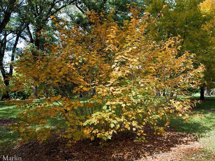 Acer barbinerve Bearded Maple Acer barbinerve