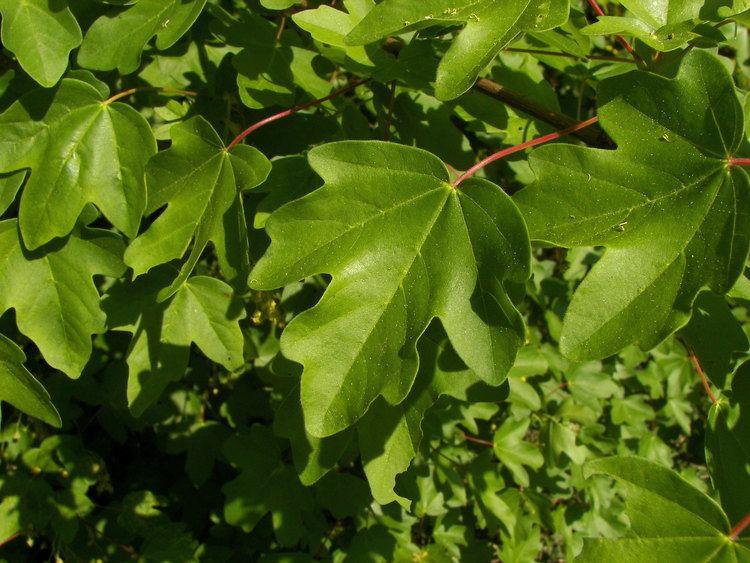 Acer campestre Acer campestre L Checklist View