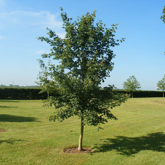 Acer campestre Acer campestre Field Maple Plants Online Trees and Hedging
