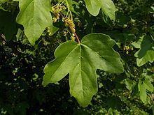 Acer campestre httpsuploadwikimediaorgwikipediacommonsthu