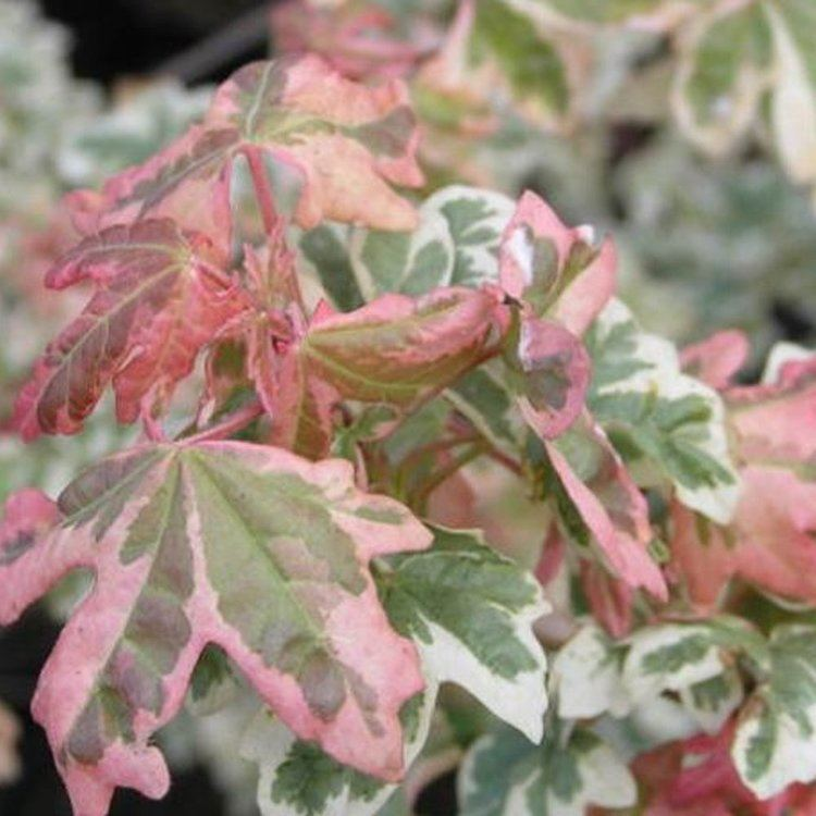 Acer campestre 'Carnival' httpswwwornamentaltreescoukimagesproducts
