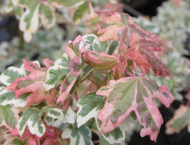 Acer campestre 'Carnival' Green Value Nursery Trees Ornamental Trees Acer campestre