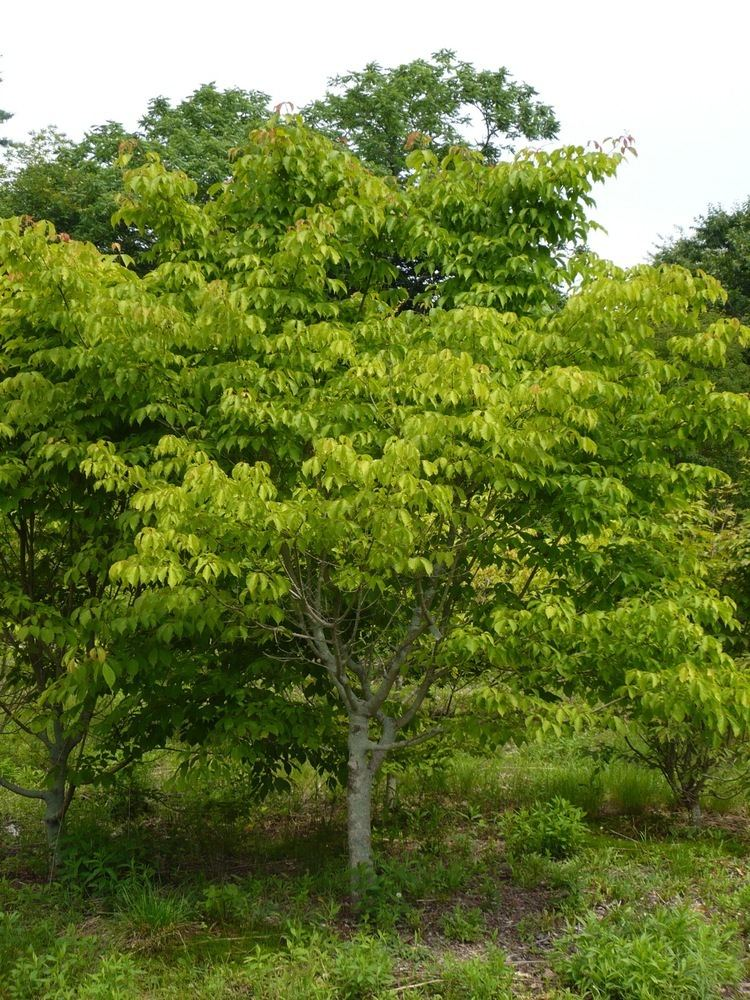 Acer henryi Henry39s Maple Grimm39s Gardens