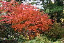 Acer japonicum Acer japonicum Wikipedia