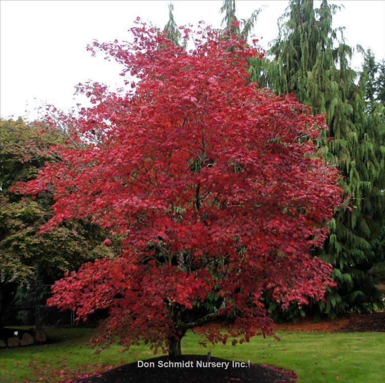 Acer japonicum nurseryguidecomFindPlantsImage5401