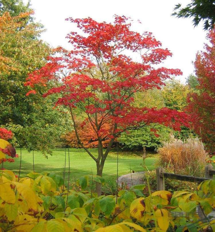 Acer japonicum ACER japonicum 39Aconitifolium39 Fern leaf maple Pflanzen null