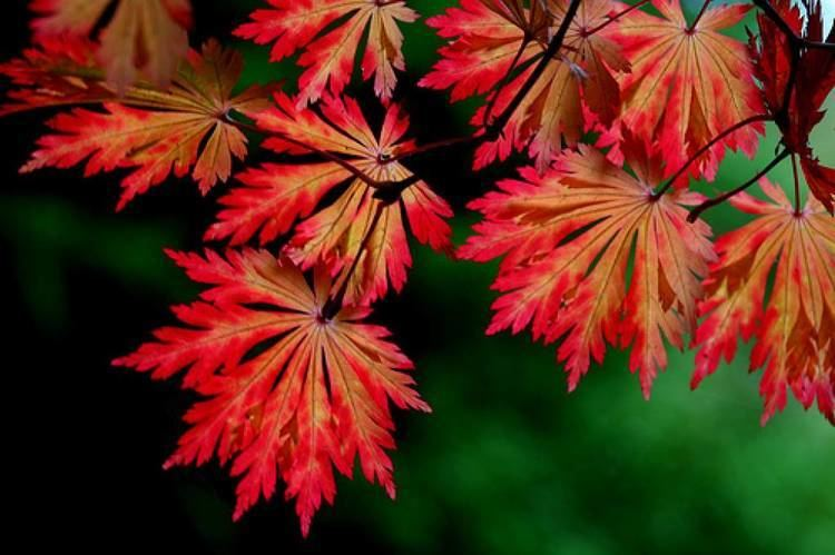 Acer japonicum Acer japonicum aconitifolium Lichtrode japanse esdoorn Kan 175 tot