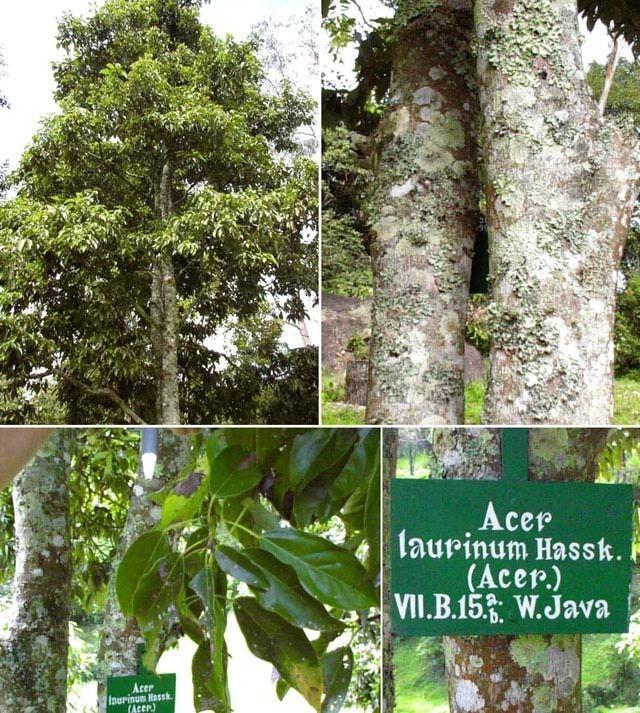 Acer laurinum Indonesian maple Acer laurinum