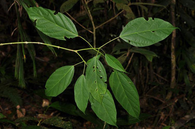 Acer laurinum Acer laurinum Aceraceae image 65442 at PhytoImagessiuedu
