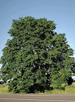 Acer macrophyllum Acer macrophyllum Fact Sheet