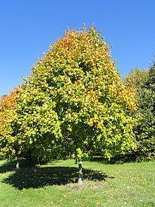 Acer nigrum httpsuploadwikimediaorgwikipediacommonsthu
