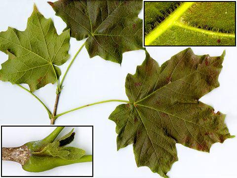 Acer nigrum Acer nigrum