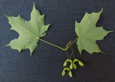 Acer nigrum Acer nigrum Michigan Flora