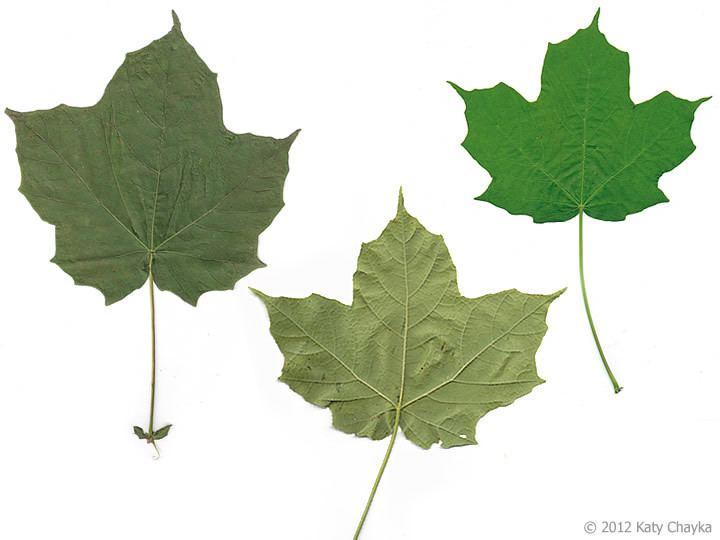 Acer nigrum Acer nigrum Black Maple Minnesota Wildflowers