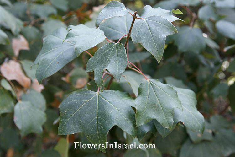 Acer obtusifolium wwwflowersinisraelcomFlowgalleryAcerobtusifol