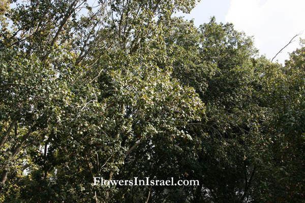 Acer obtusifolium Acer obtusifolium