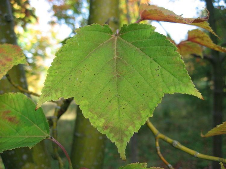 Acer palaeorufinerve