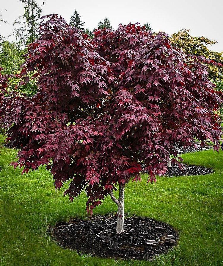 Acer palmatum httpswwwthetreecentercomwpcontentuploadsp