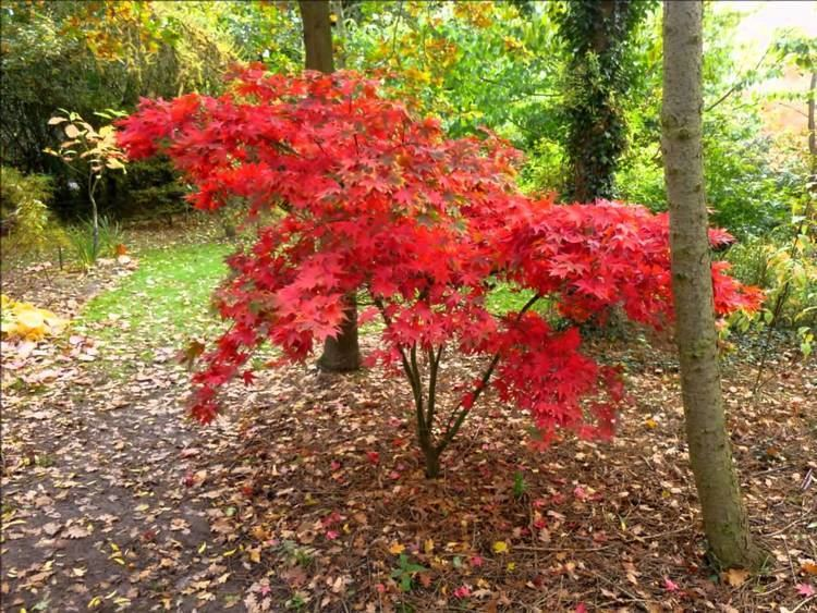 Acer palmatum Acer palmatum 39Osakazuki39 Japanese Maple YouTube