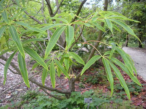 Acer pentaphyllum Plant Guide Plants Caterpillar Host Plants Acer pentaphyllum