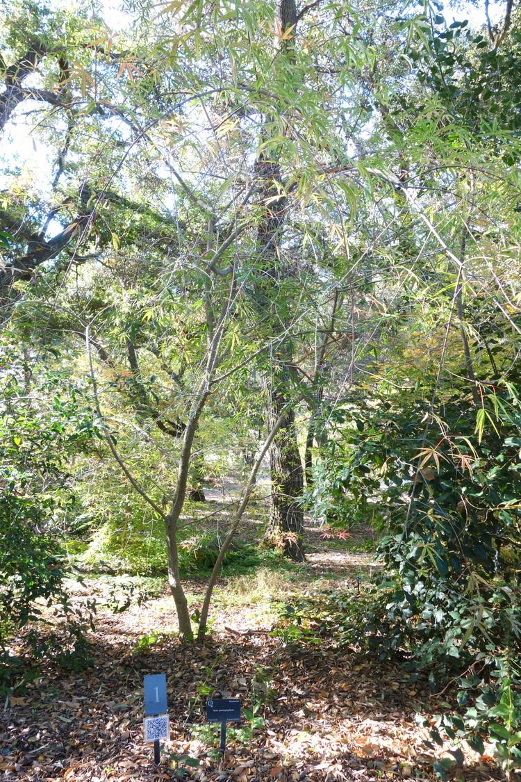 Acer pentaphyllum httpsuploadwikimediaorgwikipediacommonsdd