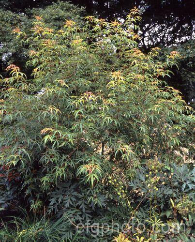 Acer pentaphyllum Acer pentaphyllum Photo Royalty Free Acer Stock Image PHO0068jpg