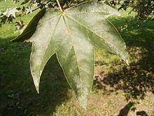 Acer pictum httpsuploadwikimediaorgwikipediacommonsthu
