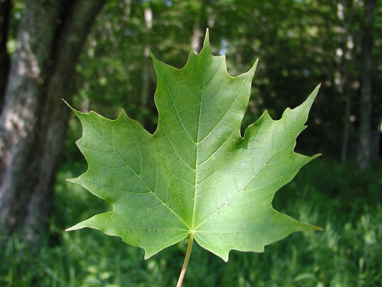 Acer saccharum httpsnewfss3amazonawscomtaxonimages1000s1