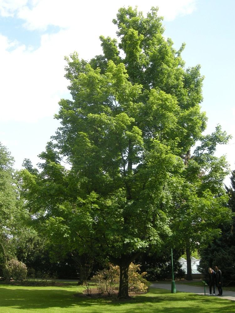 Acer saccharum Sugar Maple Acer saccharum Great Plains Nursery