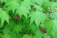 Acer sieboldianum Acer sieboldianum Wikipedia