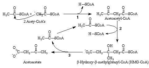 Acetoacetyl-CoA ketogenesis
