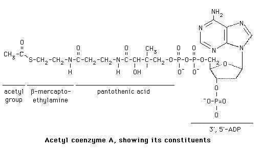 Acetyl-CoA Fatty Acids Structure of Acetyl CoA