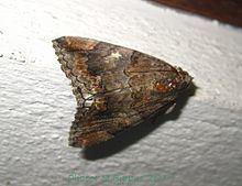 Achaea catella httpsuploadwikimediaorgwikipediacommonsthu