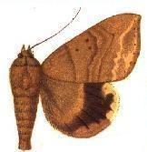 Achaea trapezoides httpsuploadwikimediaorgwikipediacommons77