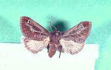 Acharia (moth) httpsuploadwikimediaorgwikipediacommonsthu