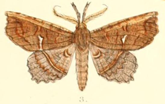 Acharya (moth)