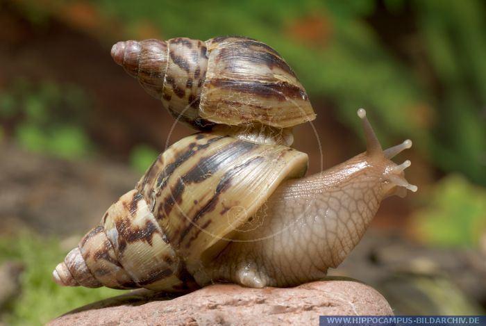 Achatina albopicta Achatina albopicta alias Giant African land snail Hippocampus