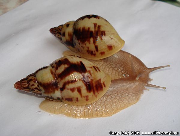 Achatina albopicta Achatina albopicta